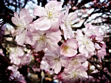 Cherry Blossoms in Lomo style